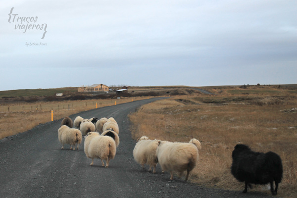 lambs in Iceland roads