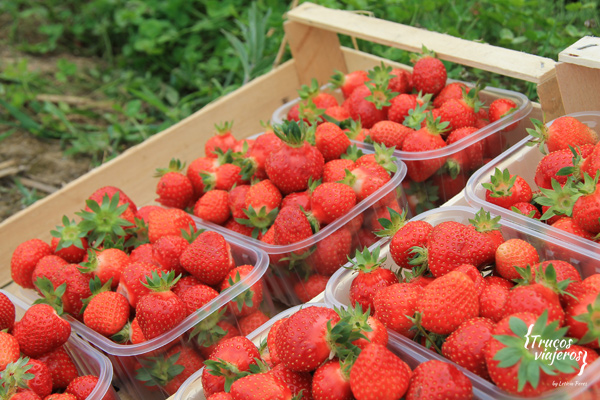 Strawberry Slovenia producers